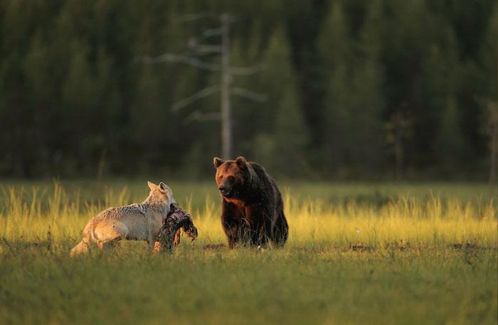 Extraordinary-Friendship-Between-a-Bear-and-a-Wolf-3