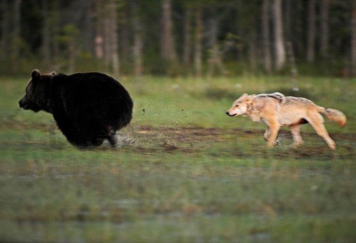 Extraordinary-Friendship-Between-a-Bear-and-a-Wolf-4
