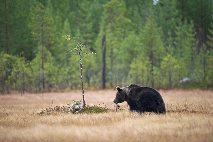 Extraordinary-Friendship-Between-a-Bear-and-a-Wolf-5