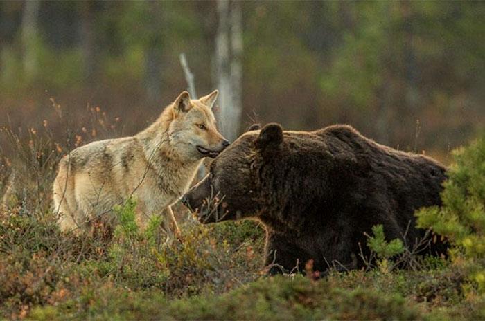 Extraordinary-Friendship-Between-a-Bear-and-a-Wolf-6