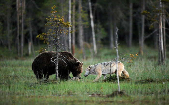 Extraordinary-Friendship-Between-a-Bear-and-a-Wolf-7