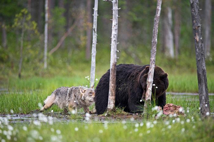 Extraordinary-Friendship-Between-a-Bear-and-a-Wolf-8